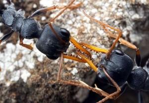 صراع النمل
