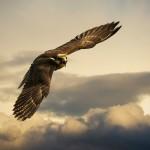 هندسة الطيران عند الصقور.. براعةٌ إلهية مدهشة