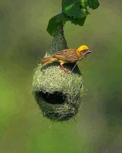 الطائر النساج